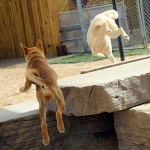 Butter the dog jumping over a concrete wall